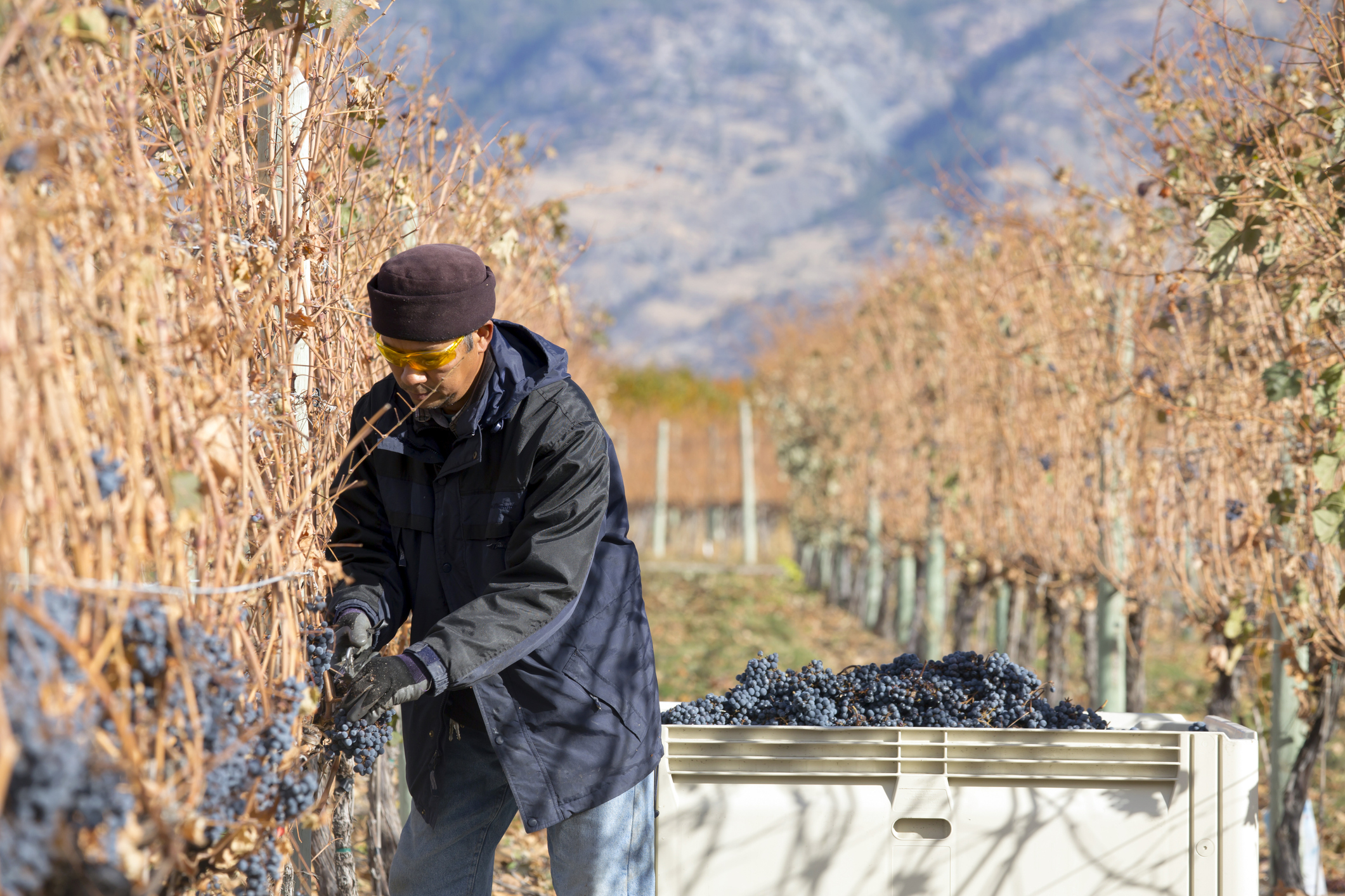 person harvesting grapes